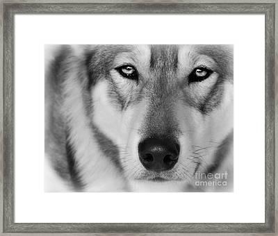 Intence Sled Dog Black And White Framed Print