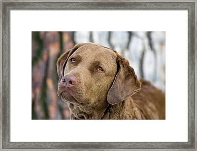 Intense Eyes Of Purebred Chesapeake Bay Framed Print by Piperanne Worcester