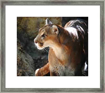 Intense Mountain Lion Framed Print by DiDi Higginbotham