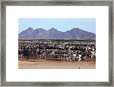 Intensive Cattle Farm Framed Print by Jim West