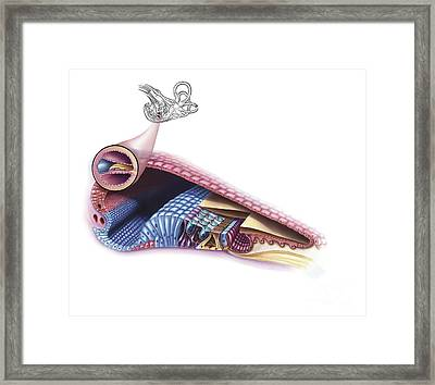 Interior Detail Of The Cochlea Framed Print by TriFocal Communications