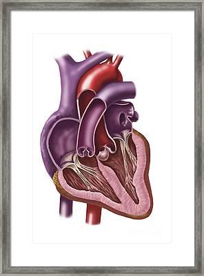 Interior Of Human Heart Showing Atria Framed Print
