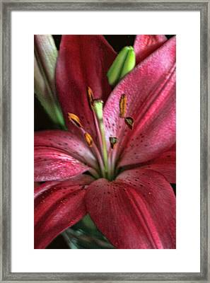 Interior Red Lily Framed Print by Linda Phelps