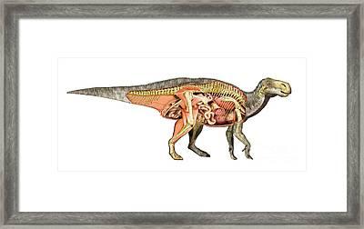 Internal Anatomy Of An Iguanodon Framed Print by Leonello Calvetti