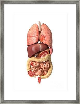 Internal Organs Of The Respiratory Framed Print by Leonello Calvetti