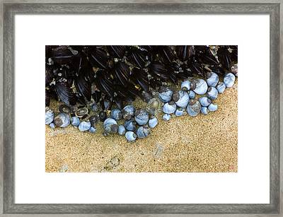 Intertidal Animals Of A Rocky Shore Framed Print by Dr Jeremy Burgess