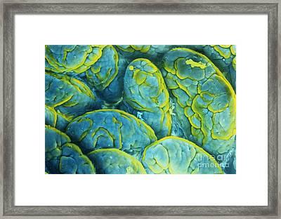 Intestinal Microvilli Sem Framed Print by Spl