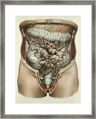 Intestines And Mesentery Framed Print by Science Photo Library
