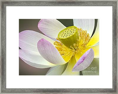 Intimate Sacred Lotus Bloom Framed Print by Susan Candelario