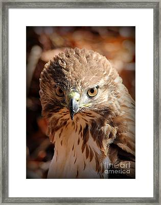 Intimidation That Works Red Shouldered Hawk  Framed Print by Reid Callaway