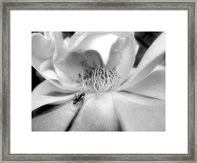 Framed Print featuring the photograph Intrigue Rose In Black And White by Louise Kumpf