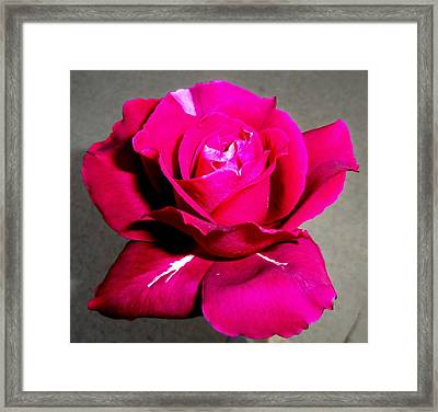 Intrique Rose 3 Framed Print
