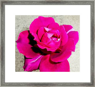 Intrique Rose 4 Framed Print