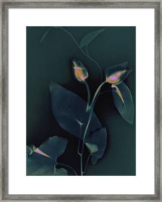 Ipomena Framed Print by Susan Leake