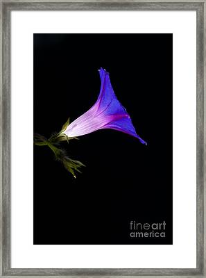 Ipomoea Morning Glory Framed Print