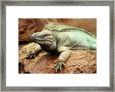 Iquana Framed Print by Jim Hughes
