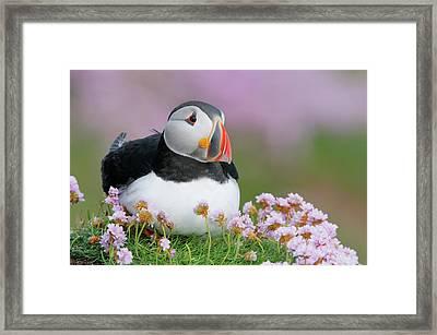 Ireland, Saltee Island Framed Print by Jaynes Gallery