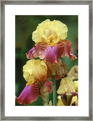 Iris 1 Framed Print by Andy Shomock