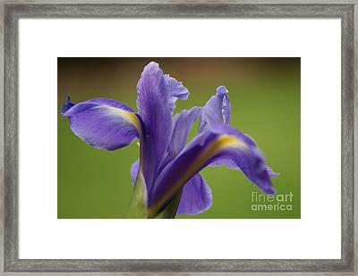 Iris 3 Framed Print by Carol Lynch