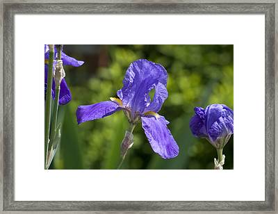 Iris 4 Framed Print by Andy Shomock