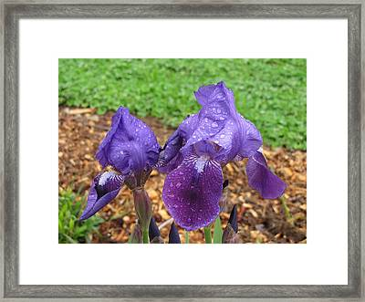 Framed Print featuring the photograph Iris After Rain by Katie Wing Vigil