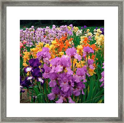 Iris. Framed Print by Anthony Cooper/science Photo Library