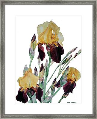 Watercolor Of Tall Bearded Iris In Yellow And Maroon I Call Iris Beethoven Framed Print