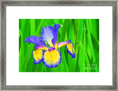 Iris Blossom Framed Print