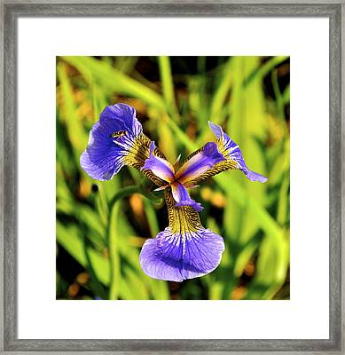 Framed Print featuring the photograph Iris by Cathy Mahnke