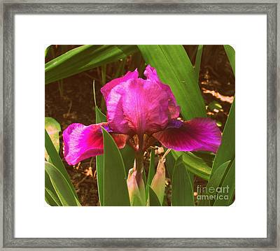 Iris Framed Print by Christy Beal