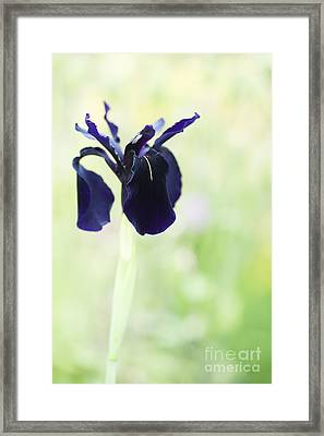 Iris Chrysographes Black Form Framed Print by Tim Gainey