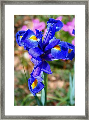 Iris Framed Print by Denise Moore