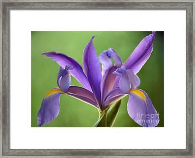 Iris Elegance Framed Print by Deb Halloran