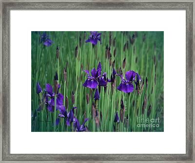 Iris Field Framed Print by Yumi Johnson