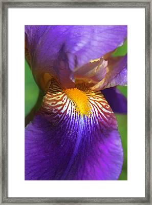 Iris Flower Purple Framed Print