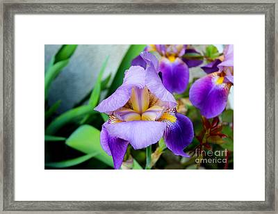 Iris From The Garden Framed Print
