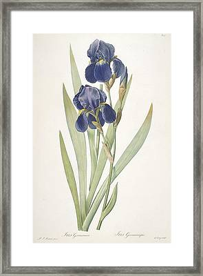 Iris Germanica Bearded Iris Framed Print by Pierre Joseph Redoute