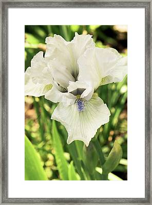 Iris Germanica 'love's Tune' Flower Framed Print by Adrian Thomas