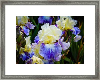 Framed Print featuring the photograph Iris In Blue And Yellow by Patricia Babbitt