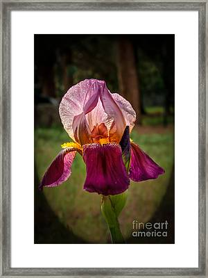 Iris In The Spotlight Framed Print by Robert Bales