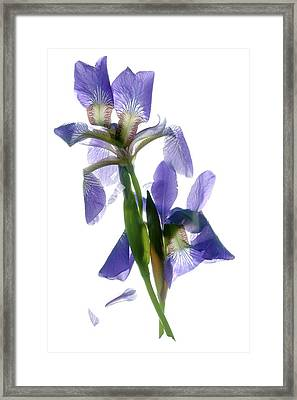 Iris Framed Print by Julia McLemore