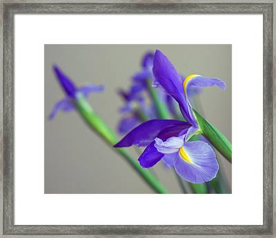 Iris Framed Print by Lisa Phillips