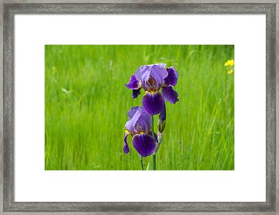 Iris Framed Print by Michele Wright