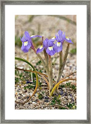 Iris (moraea Sisyrinchium 'barbary Nut') Framed Print by Bob Gibbons