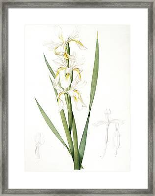 Iris Ochroleuca, Iris Jaune Blanc Salt Marsh Iris, Sea Framed Print
