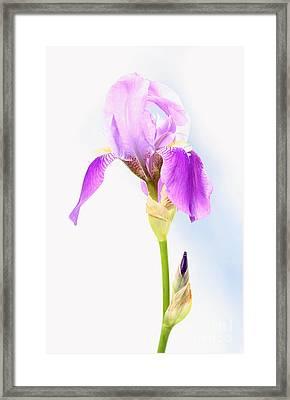 Iris On A Sunny Day Framed Print