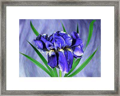 Iris Pallida Flowers Framed Print by Archie Young