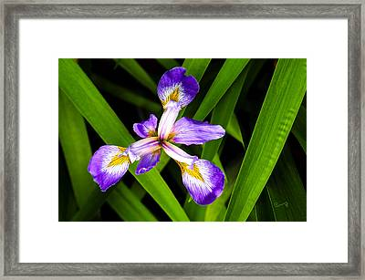 Iris Pinwheel Framed Print