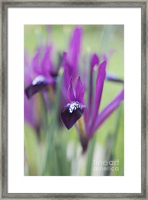 Iris Purple Gem Framed Print by Tim Gainey