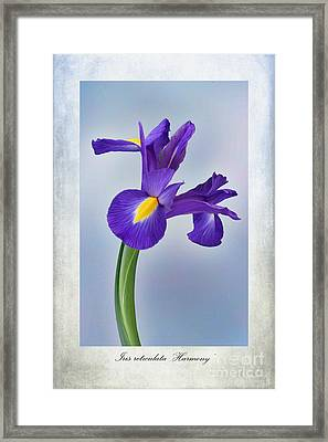 Iris Reticulata Framed Print by John Edwards